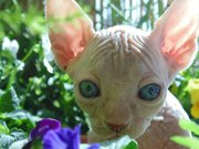Micro Chipped,  Fully Vaccinated,  TICA Registered, Hairless Sphynx kitte